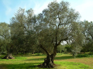 potatura olive